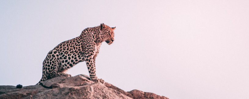 Cheetah on Rock