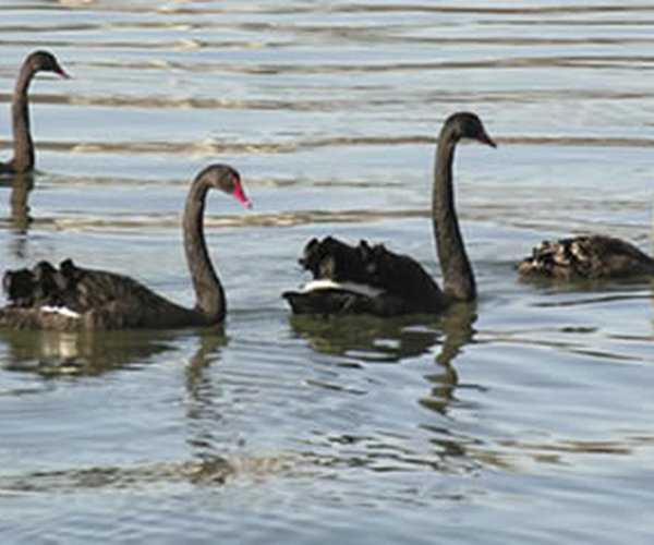 Black Swans and Sustainability